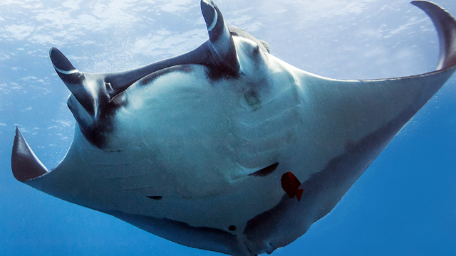 The majestic oceanic manta, a species that is facing increasing fishing pressures around the globe.