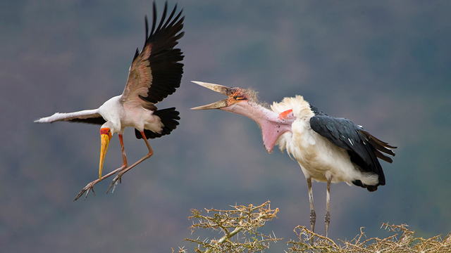 A marabu chases a yellow-billed stork off a nesting site as mating season approaches